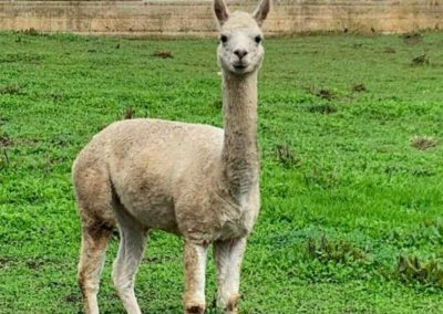 An Alpaca in the Adelaide Hills which are used to guard the vineyards from wild animals